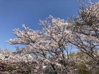 Sakura20190408